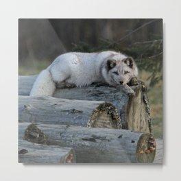 Arctic fox resting on logs Metal Print