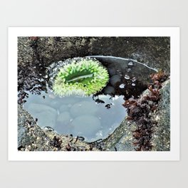 Green Tidal Pool Anemone Art Print
