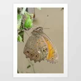 Meadow Brown Butterfly Feeding On Aphids Art Print
