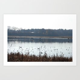 Ducks flying low over water in Massachusetts.  Art Print