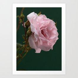 Raindrops on my rose Art Print