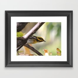 A Townsend's Warbler in a sycamore tree. Framed Art Print