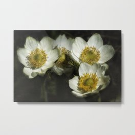 Pasque Flowers Metal Print