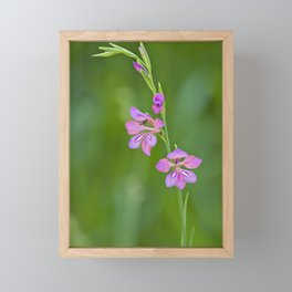 Beauty in nature, wildflower Gladiolus illyricus Framed Mini Art Print