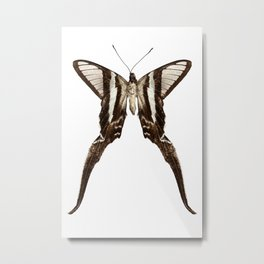 """Butterfly species Lamproptera curius """"Dragontail"""" Metal Print"""