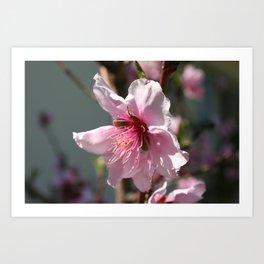 Close Up of Peach Tree Blossom Art Print