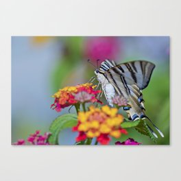 Southern swallowtail or zebra butterfly Canvas Print