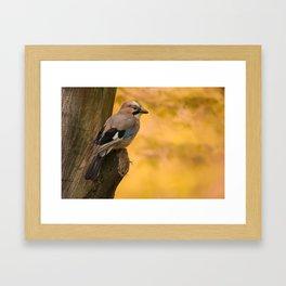 Jay bird in the park Framed Art Print