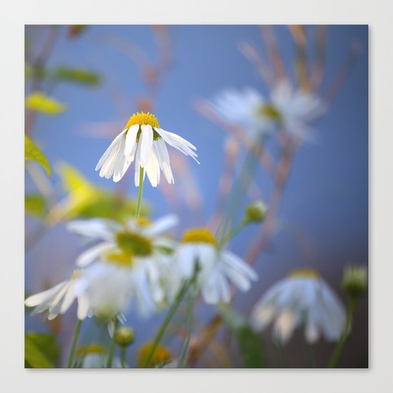 Daisies on a sunny summer day with blue sky Canvas Print