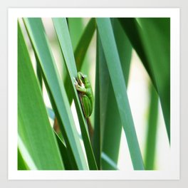 Eastern Dwarf Green Tree Frog on Reeds Art Print