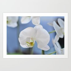 White Phalaenopsis Art Print