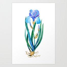 Light Blue Iris Art Print