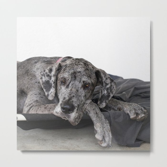 Great Dane waiting Metal Print