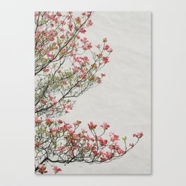 Pink Blossoms Against a White Wall Canvas Print