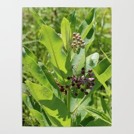 Multi Colored Milkweed Blossoms Poster