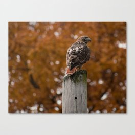 Red Tailed Hawk Fall Canvas Print