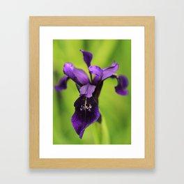 Purple Iris Photograph Framed Art Print