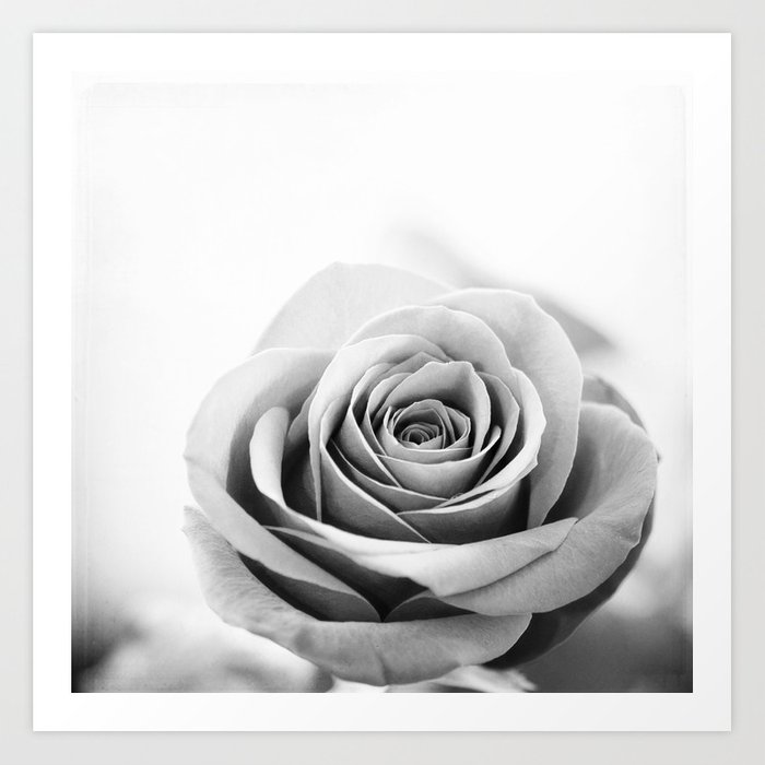 Black And White Rose Flower Photography Grey Roses Floral Photo