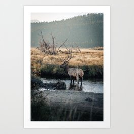 Bull Elk In Rocky Mountain National Park Colorado Art Print