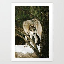Gray Wolf Art Print