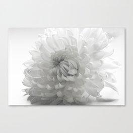 white Chrysanthemum flower bloom in black and white  Canvas Print