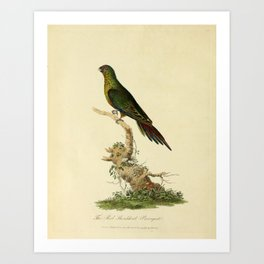 """""""The Red-Shouldered Paroquet"""" by Sarah Stone, 1790 Art Print"""