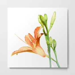daylily on white Metal Print
