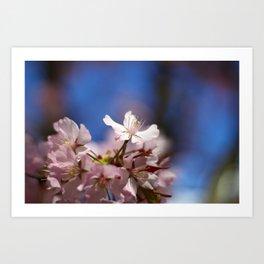 Cherry blossom Art Print