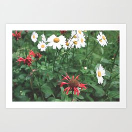 red and white daisies Art Print