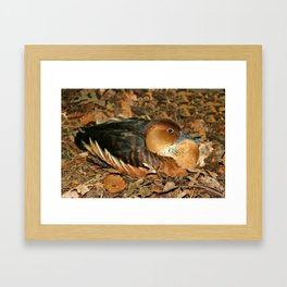 Fulvous Whistling Duck Framed Art Print