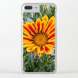 garzania flower in bloom in the garden in spring Clear iPhone Case