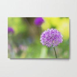 Allium Flower - Ornamental Onion Metal Print