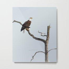 Bald Eagle in the tree Metal Print