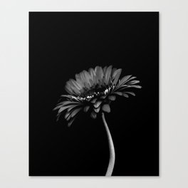 Daisy gerbera. Black and white Canvas Print