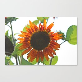 Sunflower - Orange Canvas Print