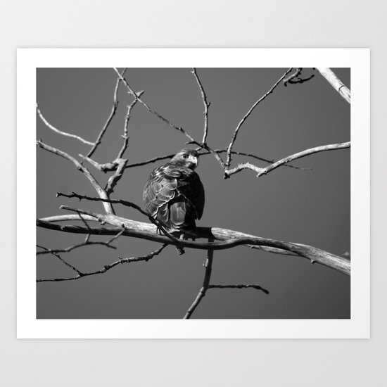 Baby Red Tail Hawk Art Print