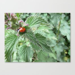 Ladybird on a stinging nettle Canvas Print