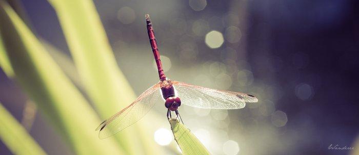 Midsummer Dragonfly - Macro photography Coffee Mug