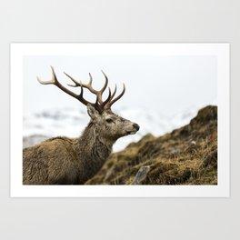Royal Red Deer Stag Art Print