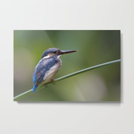 Juvenile Common Kingfisher ( Alcedo atthis ) Metal Print