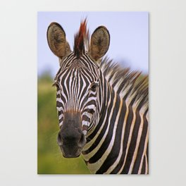 Zebra portrait, Africa wildlife Canvas Print