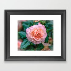 Beauty of a rose Framed Art Print