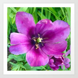 467 - Open Purple Tulip Art Print