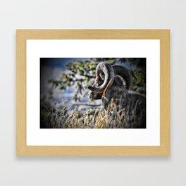 Gazing Ram Framed Art Print