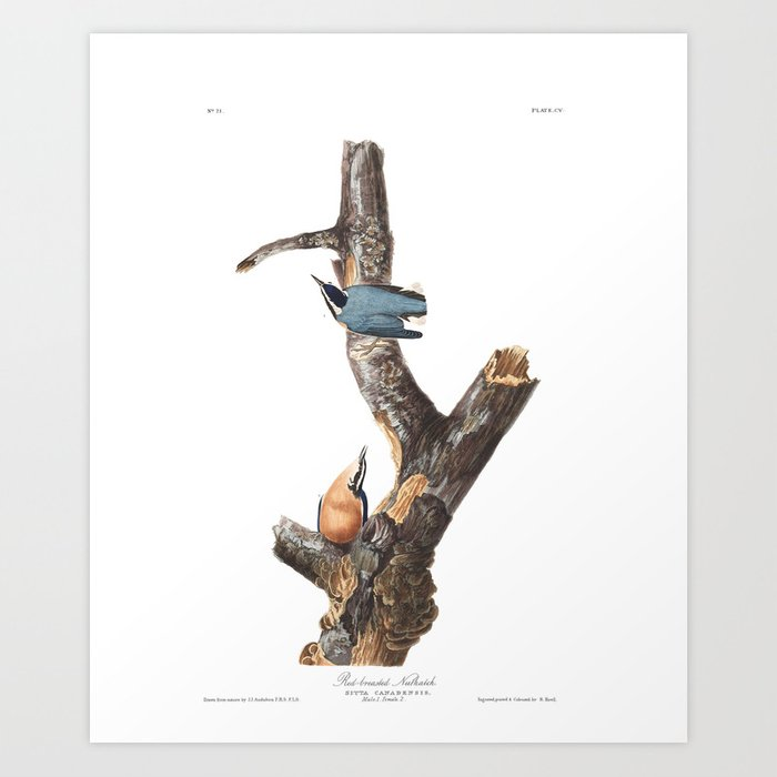 Red Breasted Nuthatch, Birds Of America, Audubon Plate 105 Art Print by Teacai - X-Small (s6-13348067p4a1v45) photo