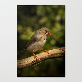 Coastal Finch Canvas Print
