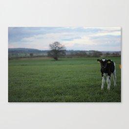 Curious Calf Canvas Print