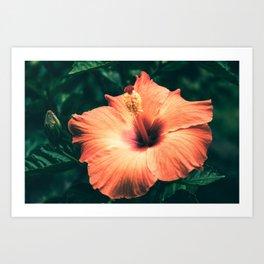 Hibiscus in the bloom Art Print