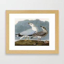 Vintage Seagull Illustration - Audubon Framed Art Print