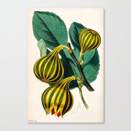 Fig plant, vintage illustration Canvas Print